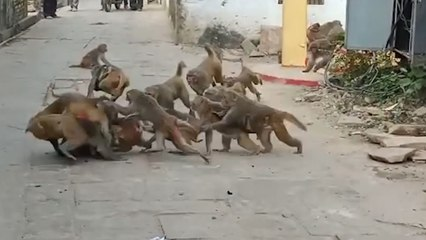 Rival monkey clans clash in brutal turf war