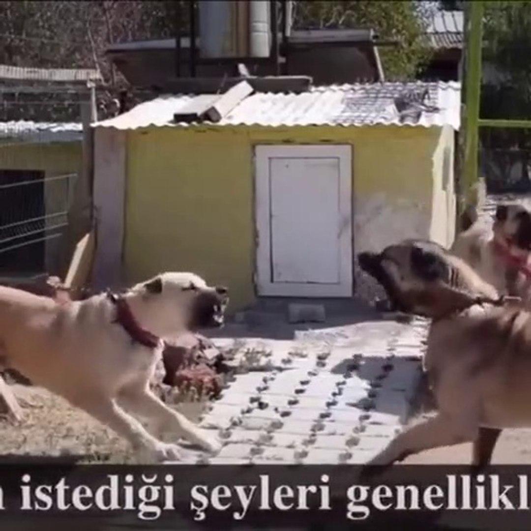 SiVAS KANGAL ve COBAN KOPEGi KARSI KARSIYA ATISMA - KANGAL DOG VS SHEPHERD DOG