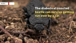 This beetle can survive being run over by car