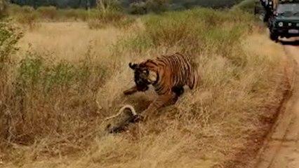 Neugieriger Tiger nähert sich Python – Schlange schlägt zurück