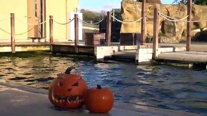 Sealions at ZSL Whipsnade Zoo enjoy pumpkins (C) ZSL