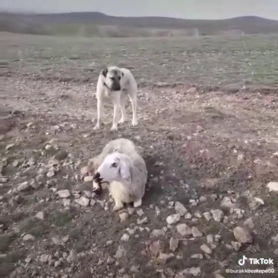 SiVAS KANGAL KOPEGiNiN MALA VEFASI - KANGAL SHEPHERD DOG and SHEEP