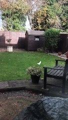 Incredibly rare white albino squirrel caught on camera scampering around Northampton garden