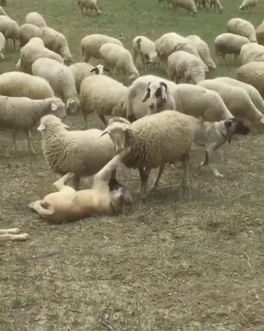 COBAN KOPEKLERi GOREVDE KISA OYUN MOLASI - SHEPHERD DOG and SHEEP MiSSiON
