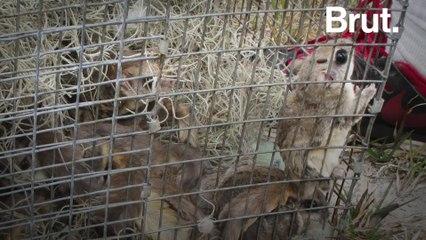 A flying squirrel trafficking ring shut down in Florida