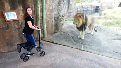 This Lion Really Wants Her Scooter