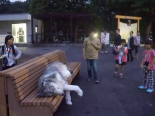 Realistic Wolf Suit