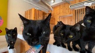 تعرفوا إلى مقهى القطط السوداء في اليابان !!!