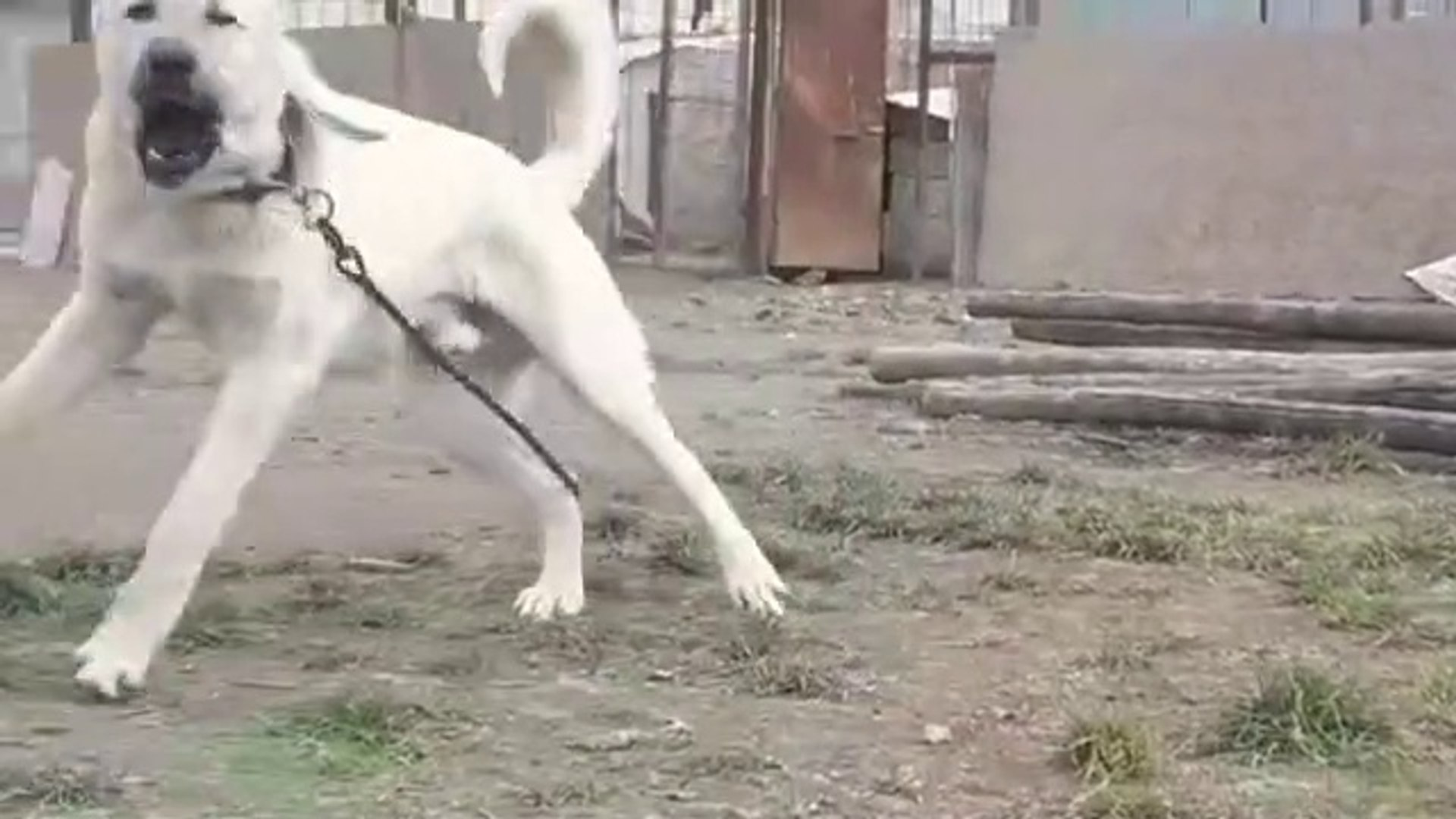 HER SABAH 1 DOZ HAVLAMA SESi ALANLAR BURADA MI - ANATOLiAN SHEPHERD DOG BARKiNG