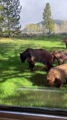 Bear Family Graze on Grass