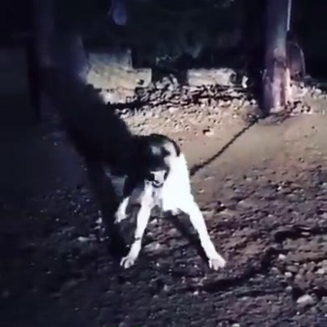 GECENiN KARANLIGINDA DELi KANGAL KOPEGi - CRAZY KANGAL SHEPHERD DOG
