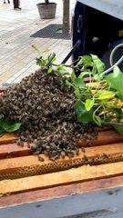 Un essaim d'abeilles se pose en plein marché à Mont-de-Marsan