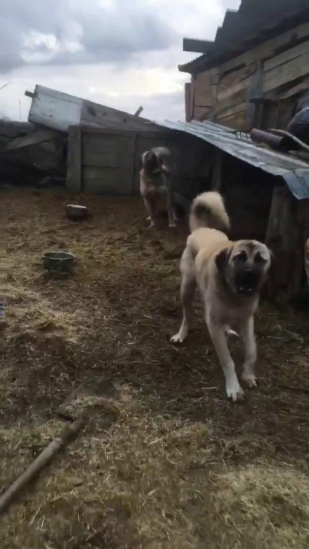 BU KANGALLAR RESMEN ADAM YER - ANGRY KANGAL SHEPHERD DOGS