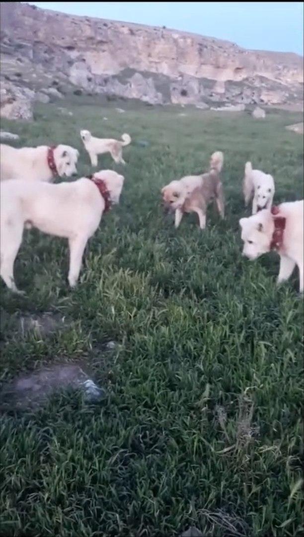 AKBAS COBAN KOPEKLERi YILAN KARSINDA - AKBASH SHEPHERD DOGS and SNAKE
