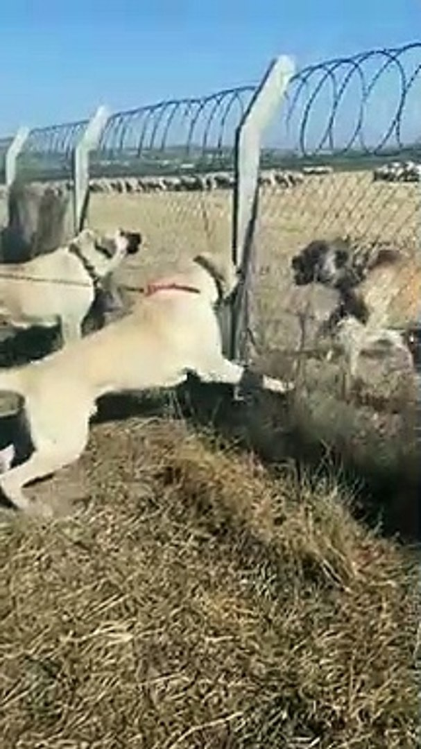 KANGAL COBAN KOPEKLERi YAKIN ATISMADAN SAHNELER - KANGAL and SHEPHERD DOG NEAR VS