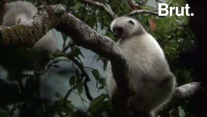 The Silky sifaka, a lemur in critical danger of extinction