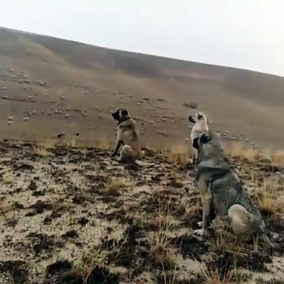 KANGAL KOPEKLERi SURUNUN BASINDA 4 GOZLE HAZIR KITA - KANGAL SHEPHERD DOGS