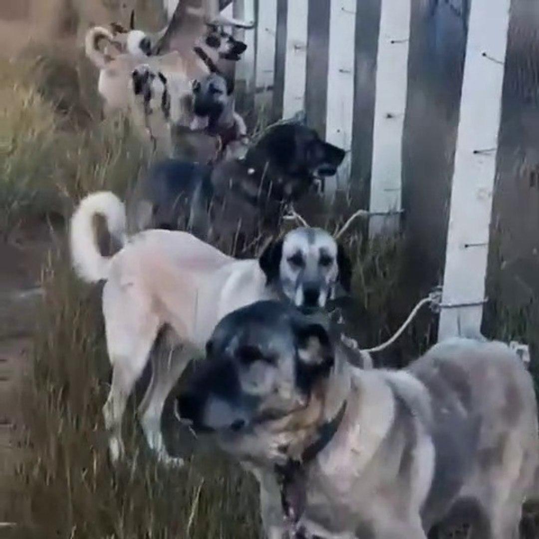 BU KADAR SiVAS KANGAL KOPEGi GORDUNUZ MU - KANGAL SHEPHERD DOGS