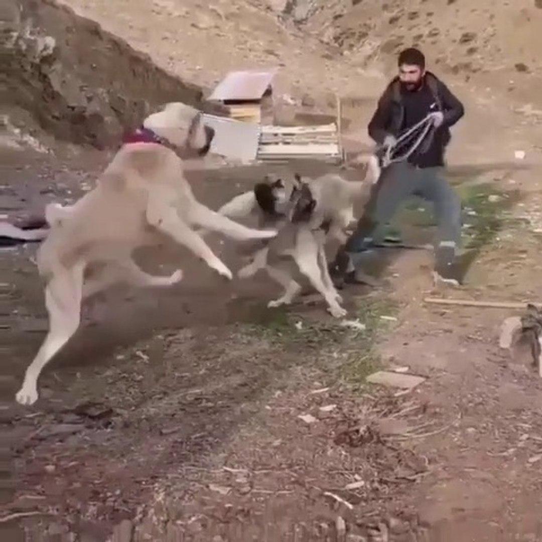 KANGALLAR ARASI KARSILASMA - KANGAL SHEPHERD DOGS VS