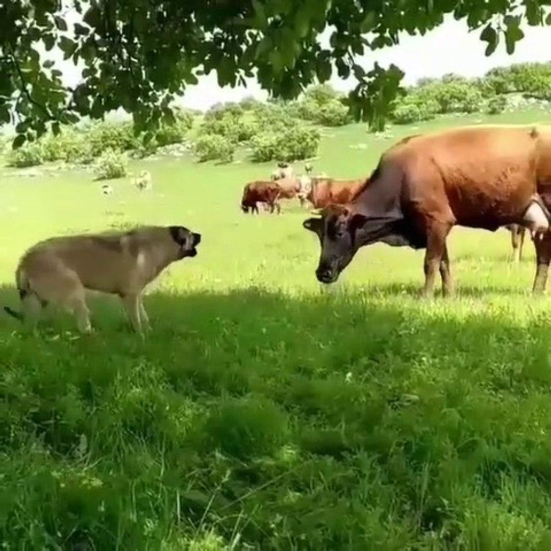 COBAN KOPEKLERi ve iNEK KARSILASMASI - SHEPHERD DOG and VS COW
