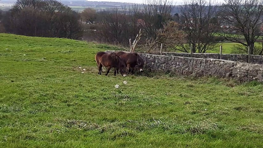 Ponies make return to Cleadon Hills for the winter