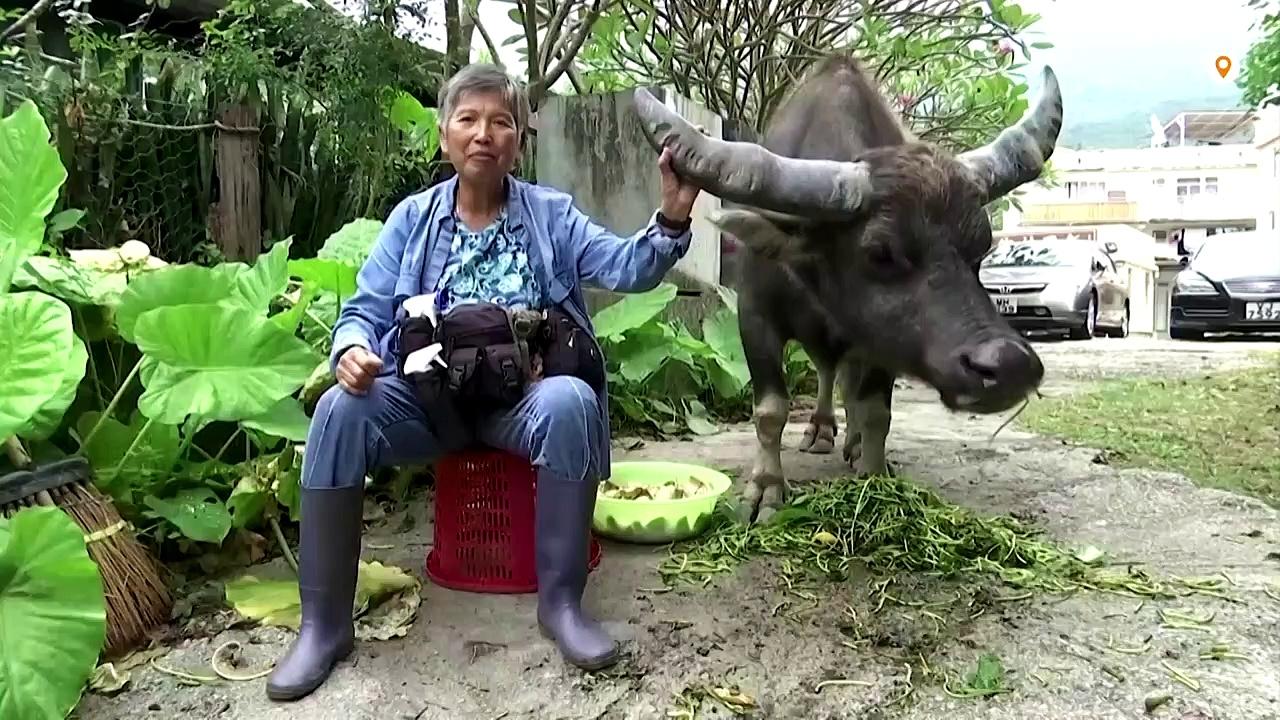 'Buffalo Mother' – Hong Kong's wild buffalo savior