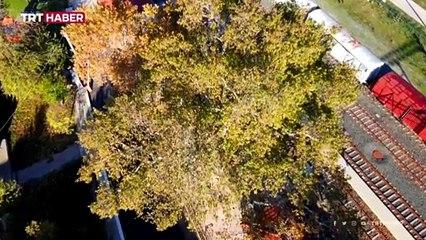 Edirne'de 22 anıt ağaca özel koruma