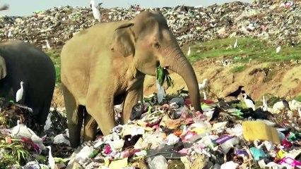 Hungry elephants look for food in Sri Lanka landfill