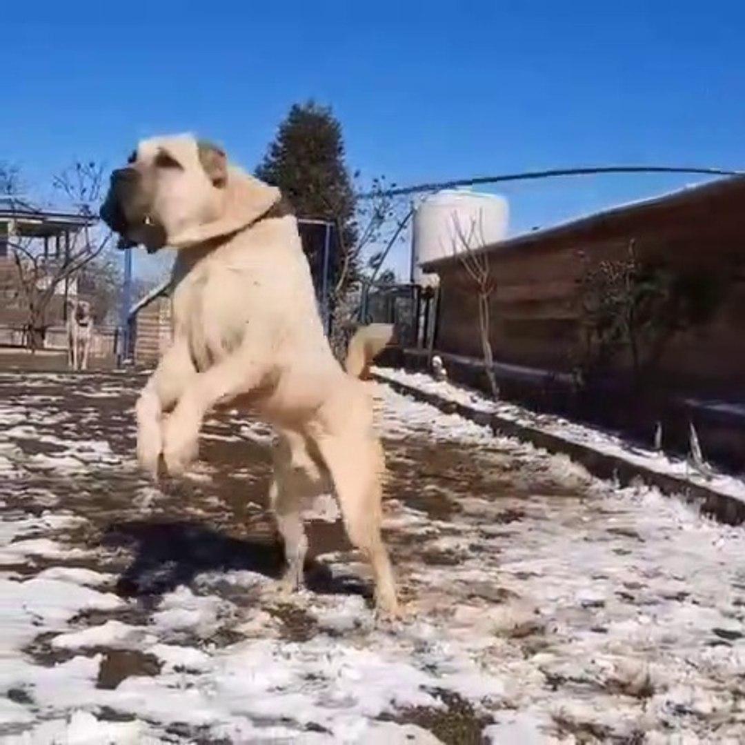 COK SiNiRLi ADAMCI ANADOLU COBAN KOPEGi - VERY ANGRY ANATOLiAN SHEPHERD DOG