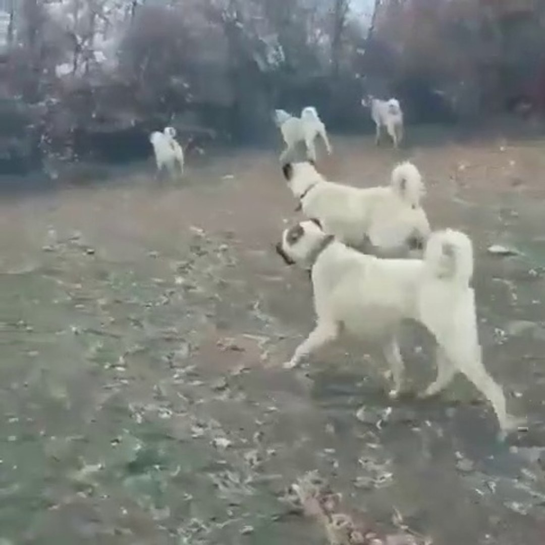 KANGALLAR KURT KOKUSUNU ALIRSA - KANGAL SHEPHERD DOGS