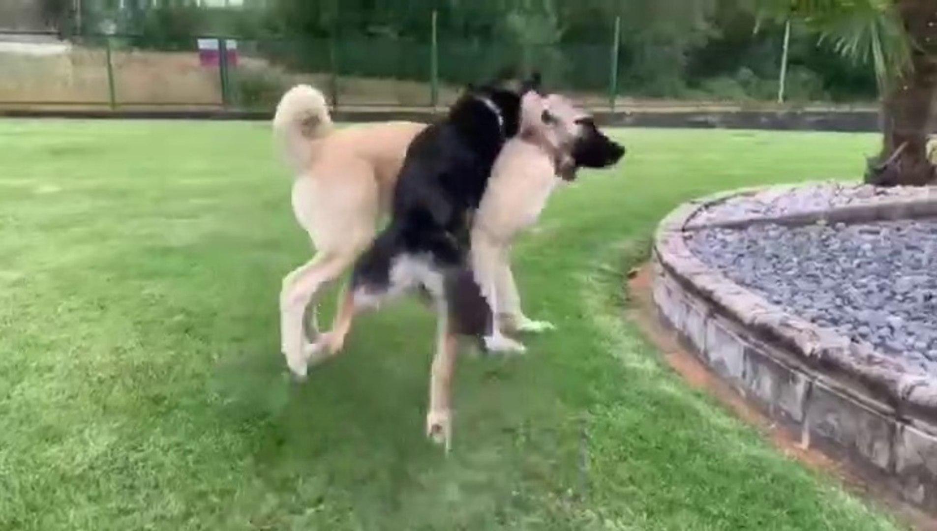 COBAN KOPEKLERi SEViMLi HALLERiNE DAiR - CUTE SHEPHERD DOGS in GARDEN