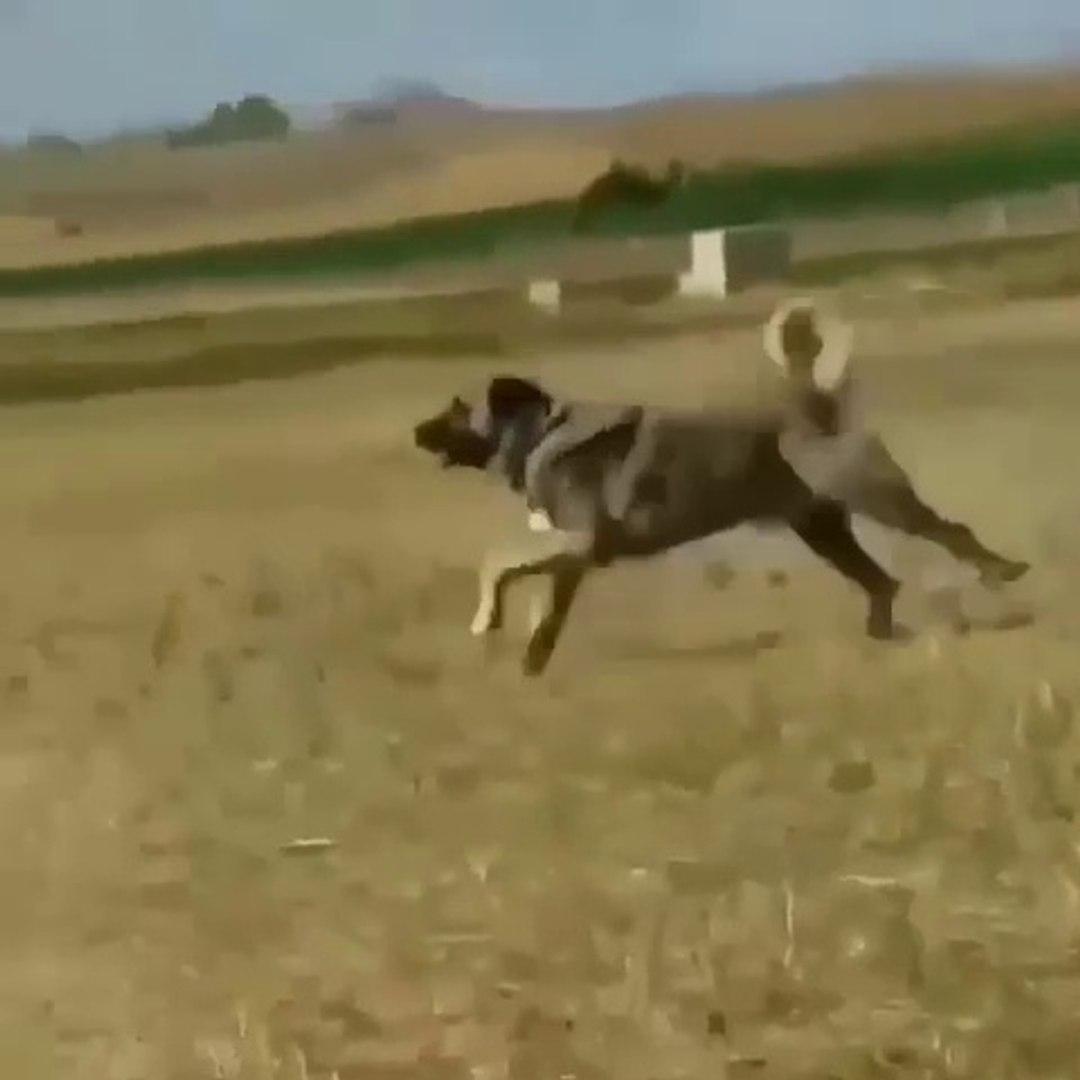 AT MiSALi 4 NALA KOSAN KANGAL KOPEGi - KANGAL SHEPHERD DOG RUNiNG