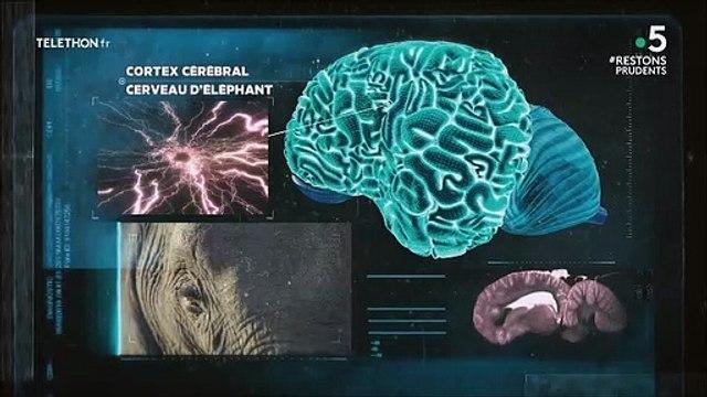 Intelligence des éléphants
