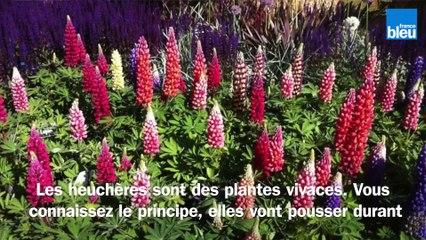 Roland Motte, jardinier : plantez des heuchères pour leur variétés, formes et couleurs