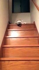 Ce chat se laisse glisser pour descendre les escaliers
