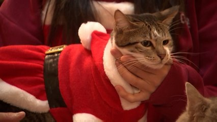 Christmas cats: Want a cuddle? Seoul cat cafe has over 100 costumed felines for people to play with