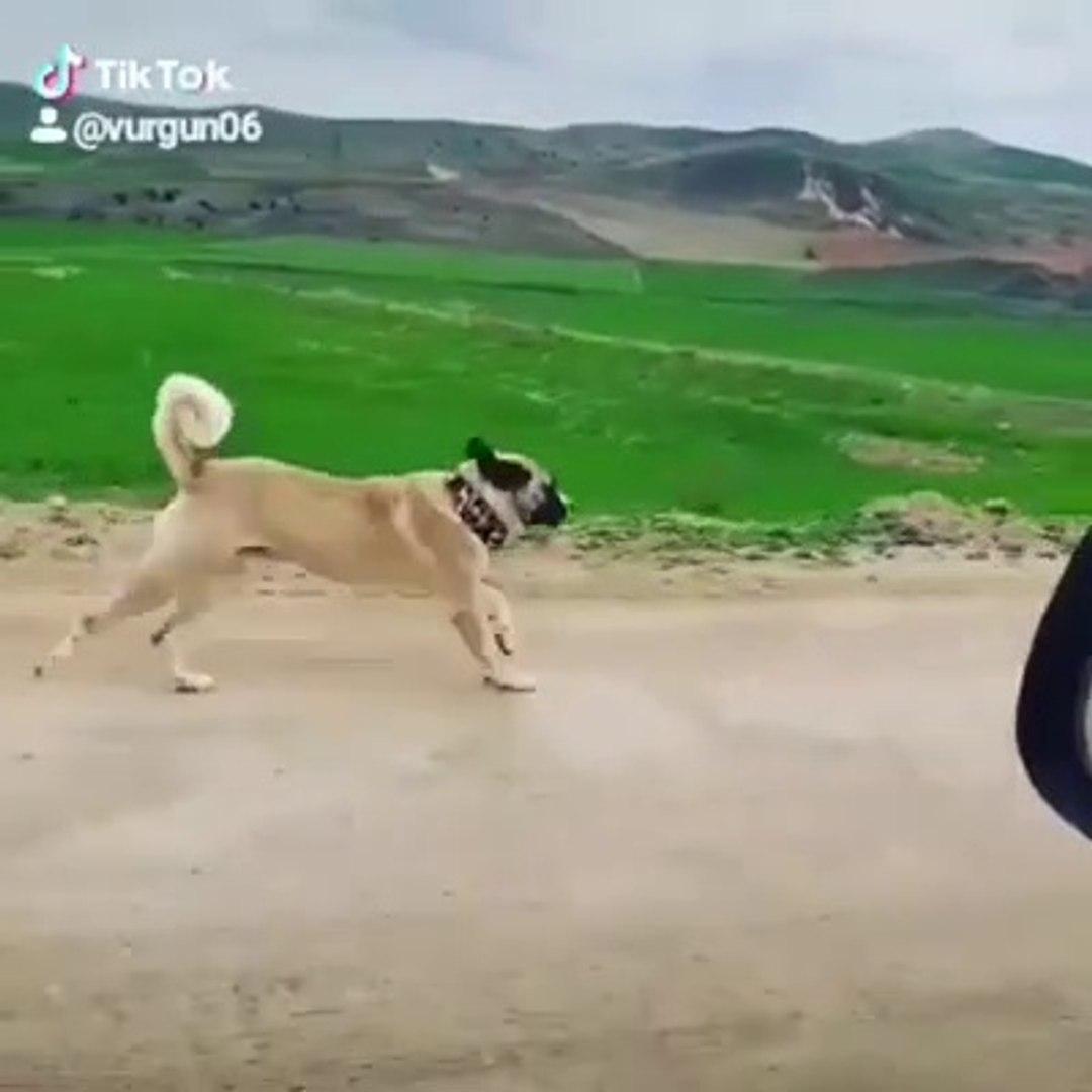 SiMiT KUYRUK ALA COBAN KOPEGiNE OGLEN SPORU - ALA SHEPHERD DOG SPORT