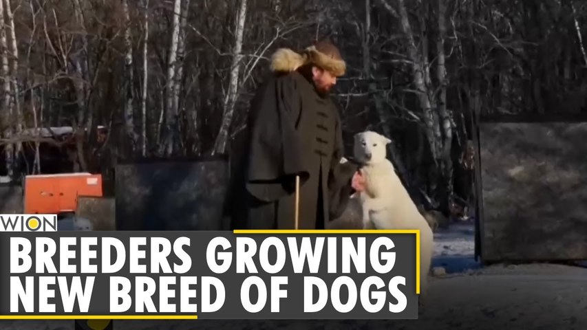 Russian dog breeders growing new breed of dogs