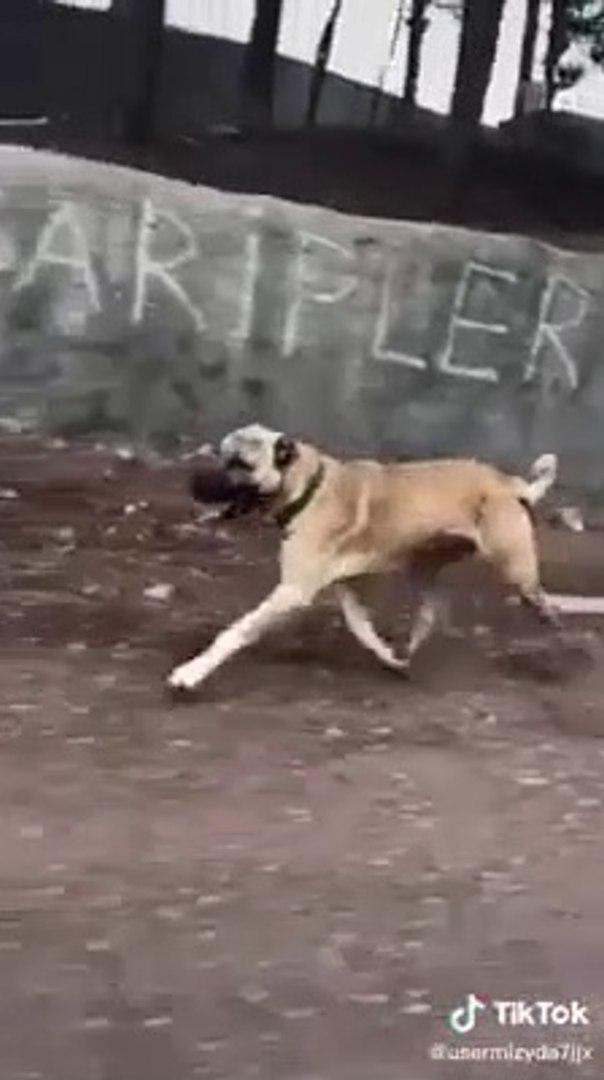 ANADOLU COBAN KOPEGiNE OGLEN SPORU - ANATOLiAN SHEPHERD DOG SPORT