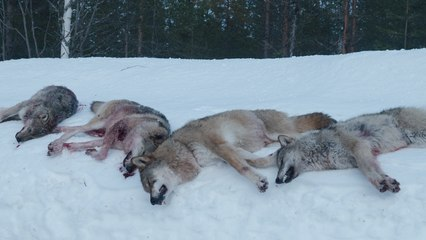 The Wolf Dividing Norway: the hunter v the environmentalist