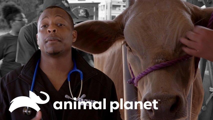 Dra. Diarra Blue remove chifres de um cabresto | Veterinários do Texas | Animal Planet Brasil