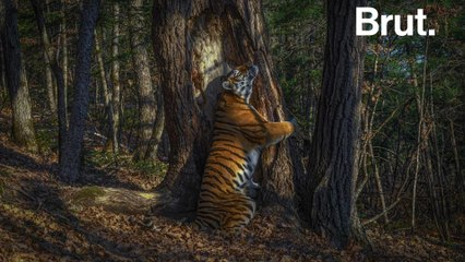 The story of a rare photograph of a Siberian tiger