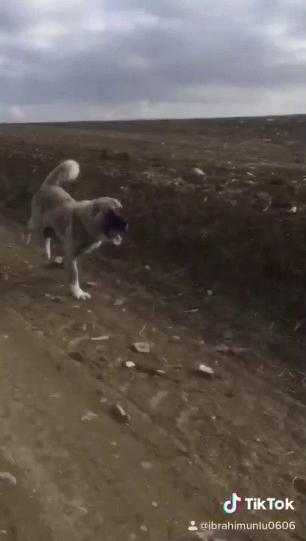 SiVAS KANGAL KOPEGiNE UZUN MARATON KOSUSU - KANGAL SHEPHERD DOG MARATHON RUN