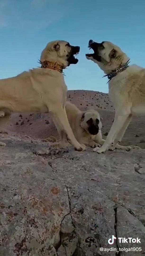 KANGAL KOPEKLERi DAGDA YAKIN ATISMA - KANGAL SHEPHERD DOG VS at MOUNTAiN