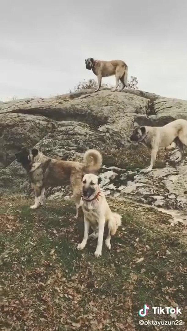 KANGALLAR ve COBAN KOPEKLERi BURADA KURTLAR NEREDE - KANGAL DOG and SHEPHERD DOGS