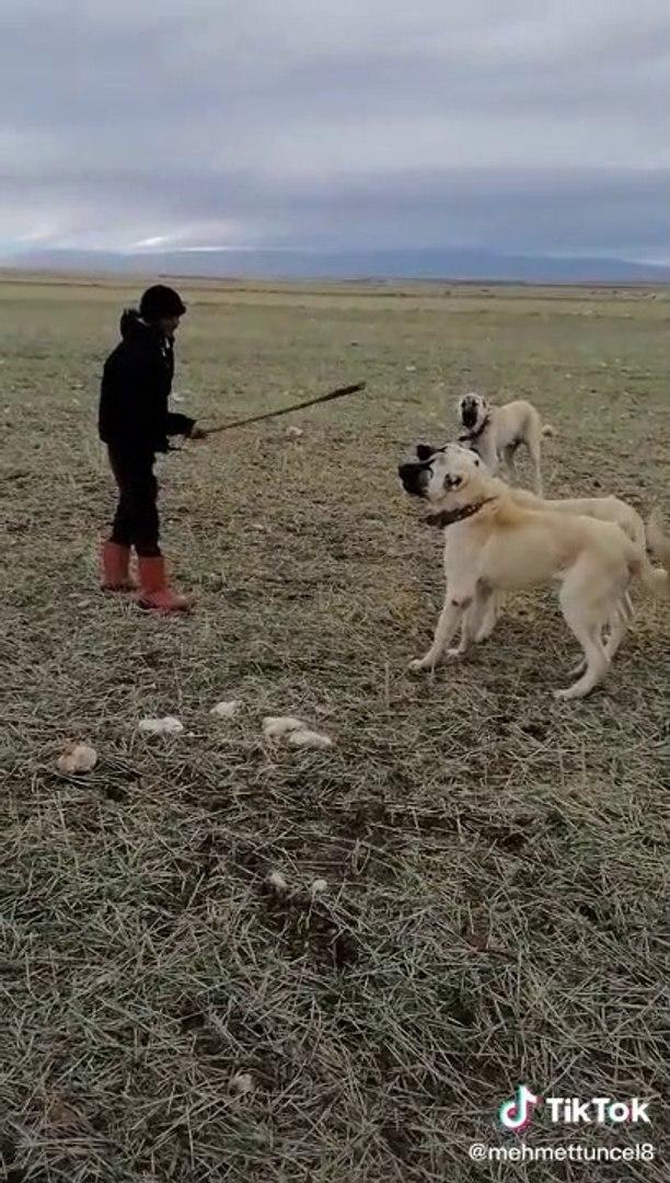 COBAN KOPEKLERi iLE KARSI KARSIYA GELMEK - ANATOLiAN SHEPHERD DOGS FACE TO FACE