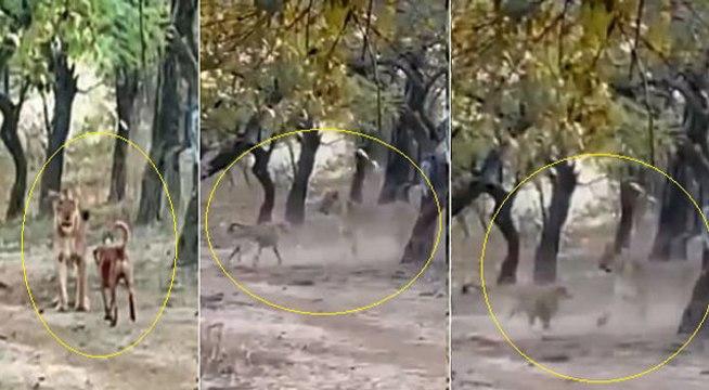 VIDEO: कुत्ते ने शेरनी को धूल चटाई, जंगल में हुआ सामना, लोग बोले- तैयार खुराक परोसने से शिकार भूली