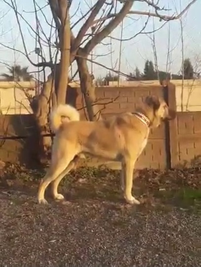 FULL SiMİT KUYRUK KANGAL COBAN KOPEGi - KANGAL SHEPHERD DOG