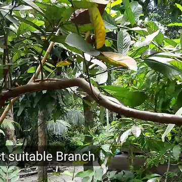 guava air layering||পেয়ারা গাছে কলম করার পদ্ধতি