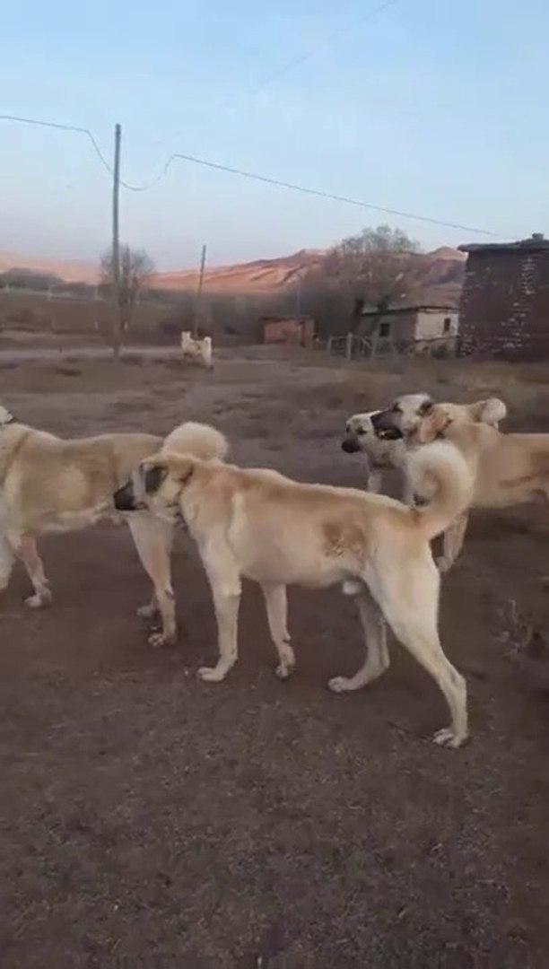 SiVAS KANGALLARI GOREV SAATiNE BEKLEYiS - KANGAL SHEPHERD DOGS